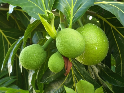 Breadfruit, Food from Jamaica