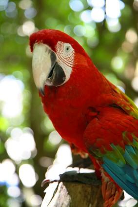 http://www.jamaica-reggae-music-vacation.com/Montego-Bay-Jamaica-Activities.html, Jamaica's black-billed Parrot