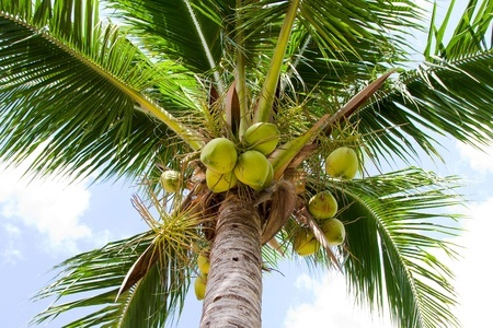 http://www.jamaica-reggae-music-vacation.com/Jamaica-Outdoor-Activities.html, Coconut Tree, Jamaica