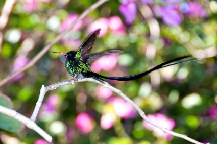 https://www.jamaica-reggae-music-vacation.com/Hummingbirds.html, Jamaica's National Bird - the Hummingbird