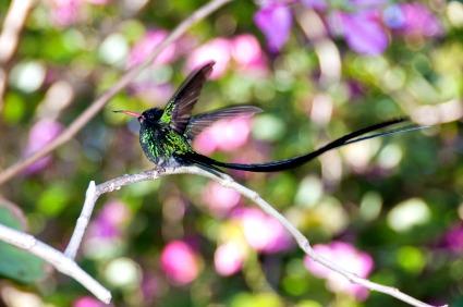 http://www.jamaica-reggae-music-vacation.com/Hummingbirds.html, Jamaica's National Bird - the Hummingbird