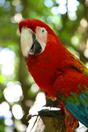 https://www.jamaica-reggae-music-vacation.com/Montego-Bay-Jamaica-Activities.html, Jamaica's black-billed Parrot