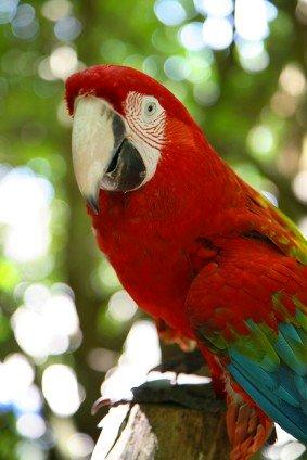black-billed parrot, http://www.jamaica-reggae-music-vacation.com/Jamaica-Wildlife.html